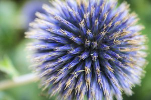 Purple Scottish Thistle