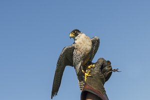 Peregrine Falcon on Falconers Glove