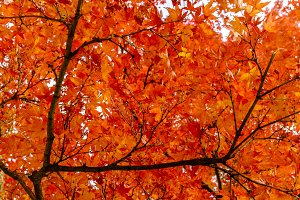 Orange Maple Leaves Background