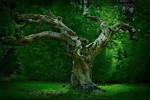 The old tree ..