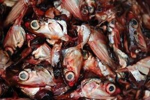 Cut Fish Heads