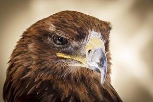 Killer Look of a Harris Hawk
