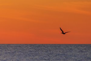 Single Pelican Flying at Sunset
