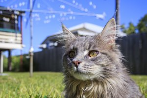 Grey Tabby Cat in Backyard