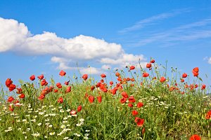 Beautiful summer poppy blossom field
