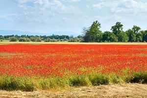Beautiful summer poppy blossom field