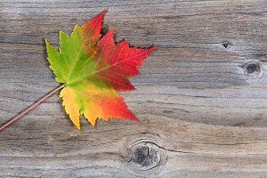 Maple Leaf in vibrant falls colors