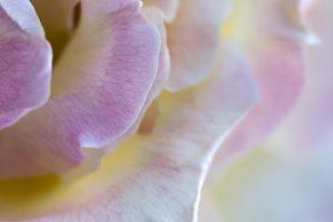 Cascading Rose Petals