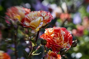 Orange Striped Roses