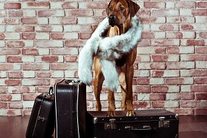 Rhodesian Ridgeback traveller dressed in fur scarf with suitcase