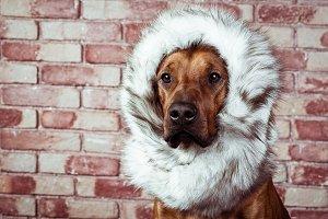 Funny Rhodesian Ridgeback dressed in fur scarf