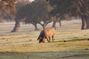 Iberian pig eating