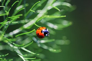Ladybug on fennel leaves