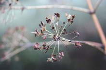 Dried wild fennel