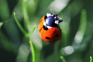 Ladybug on fennel leaves