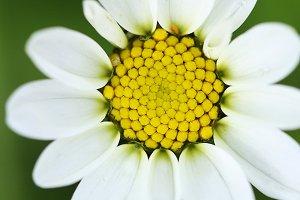 Macro wild daisy