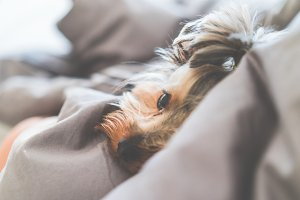 Calm Yorkshire Terrier Dog Lying