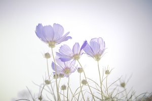 Dreamy blue cosmos flowers