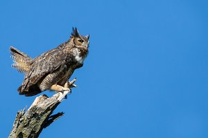 Great Horned Owl on the hunt
