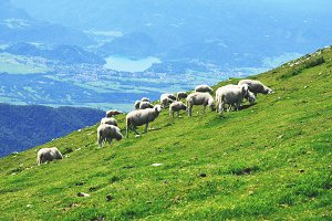 Sheeps on the Meadow in the Hills