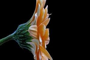 Gerbera flower,black backgrounds.