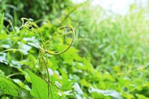 vine ivy