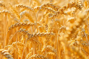 Field of wheat close-up