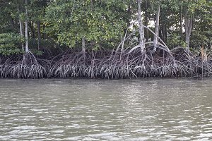 mangroves ecosystems thailand
