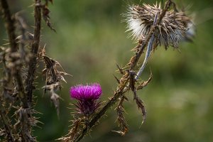 Barbed thistle in autumn