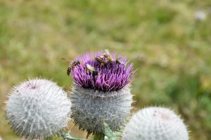 Wooly Thistle Flower and Bees