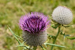 Wooly Thistle Flower