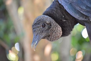 Black Vulture - Curious Expression