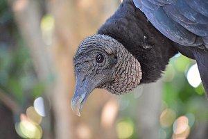 Black Vulture - Curious Expression