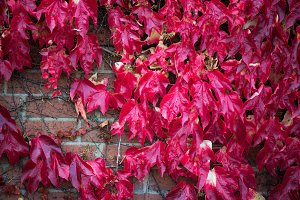Ivy with Red and Green Leaves