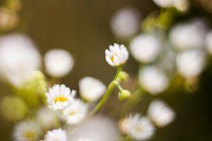 Tender and small cute white flowers