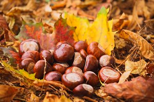 Chestnuts with leaves in nature