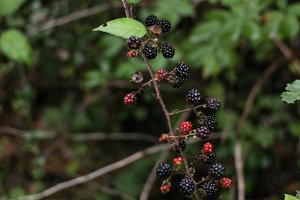 wild blackberry