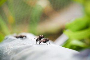 Close Up Mating flies