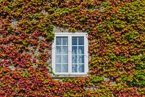 white window surrounded by ivy