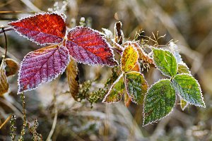 Frozen blackberry autumn leaves