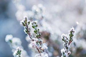 Frozen heather flower