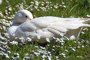 White Geese, White Flower on bed