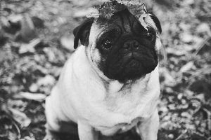 Black and white pug with leaves
