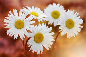 chamomile bouquet in nature
