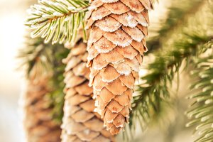 Frosty Pine Cones and Pine Branches