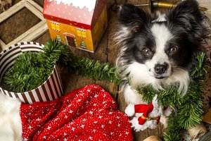 Dog and Christmas ornaments, xmas