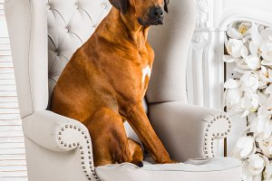 Rhodesian Ridgeback sitting on an armchair in front of fireplace