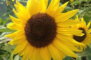 Flowered Sunflower