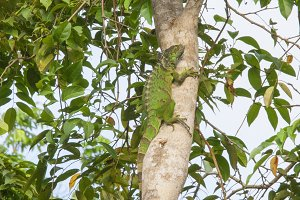 Green lizard in tree