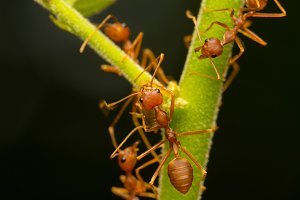 Red ants on the branches